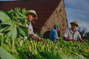 cuban tobacco farm